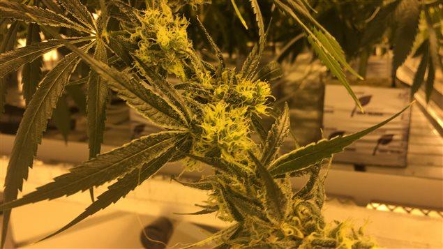 Une serre hydroponique d'un producteur de marijuana médicinale dans l'état du Maine