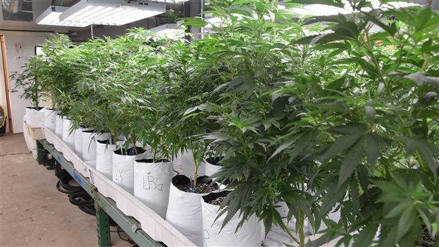 Les revenus provenant de la vente de marijuana � usage r�cr�atif ont d�pass� en 2015 ceux issus de la vente d'alcool, au Colorado.