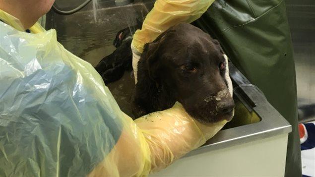 Le chien a reçu de bons soins dans une clinique vétérinaire d'Estevan.