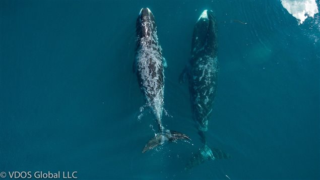 By observing unobtrusively from the air, researchers discovered the whales were touching and rubbing each other much more often than previously thought