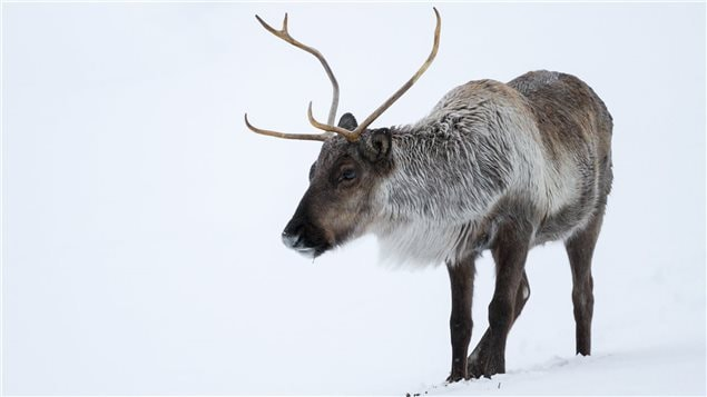 La population de caribous Bathurst est en déclin dans le Grand Nord canadien.