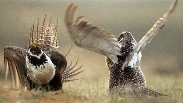 The greater-sage grouse is a large bird that lives at ground level on the western prairies.