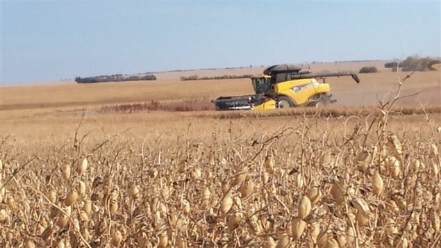 Oct 2013- harvesting chickpeas, a pulse crop, near Assiniboia, Saskatchewan. The largest Canadian processor of pulses says the Dannon move to non-GMO is part of a growing movement and good for his industry