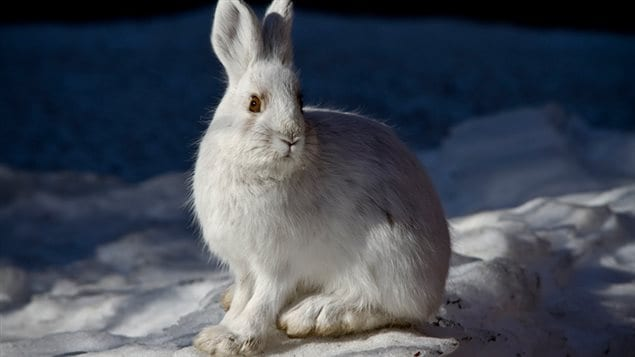 Because many other prey animals become difficult to hunt or hibernate in winter, the snowshoe hare's role in the ecosystem becomes critically important in winter. If population numbers drop, it would likely have a ngative affect on owls and many other species.
