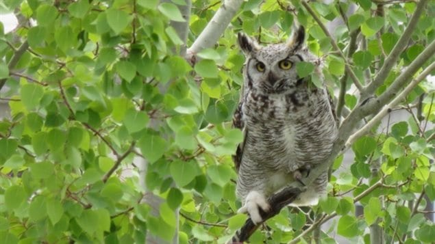 Climate change could drive the great horned owl and snowshoe hare populations to extinction in Canada's boreal forests, according to one scenario from Canadian researchers.