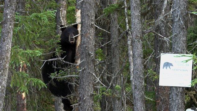 Un ours perché dans un arbre