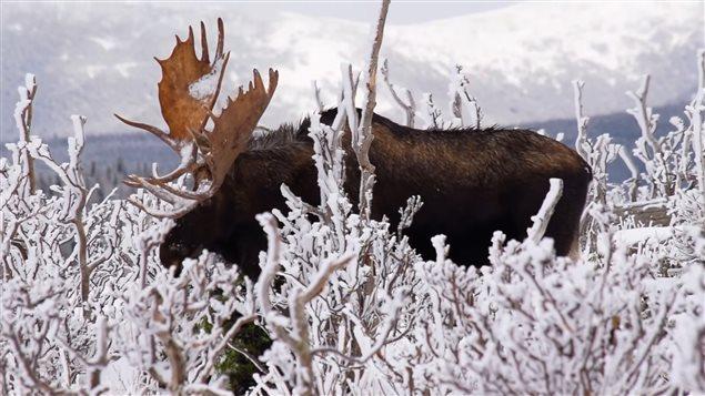 雪地上的驼鹿:加拿大魁北克省一男子拍下罕见美景 (视频) ...