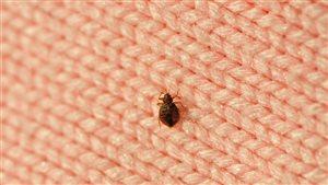 La punaise de lit est un petit insecte qu'on retrouve surtout sur les matelas et les tissus.