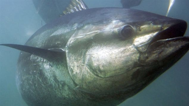 Bluefin tuna can grow to as much as 300kgs. Once caught for cat food, is now one of the most expensive fish in the world. Conservationists are concerned that stocks have declined dramatically in the past couple of decades.