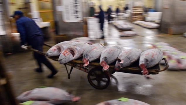 Hundreds of tuna are for sale in Japan's Tsukiji market where each fish can fetch prices worth thousnads of dollars, Record prices have reached hundreds of thousands for a single fish. Some say the high prices promote overfighins.