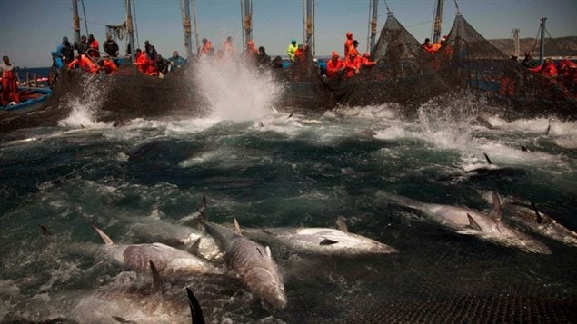 Atlantic bluefin tuna are corralled by fishing nets off the coast of Barbate, Cadiz province, southern Spain. Two studies by environmental groups say overfishing of the Atlantic continues, in part because quotas are too high.