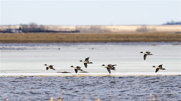 Des canards en vol au-dessus de l'eau