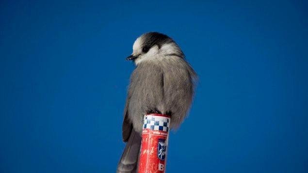 Le mésangeai pourrait devenir l'oiseau emblématique du Canada.
