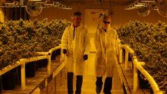 Production de cannabis : l'aveniir vert de l'Alberta