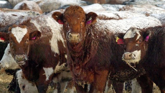 Canada's beef and pork producers are taking a wait-and-see attitude in reaction to US President elect Donal Trump and his comments about renogiating NAFTA and possibly reinstating COOL.