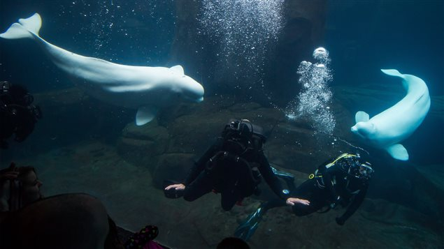 Beluga whales Aurora, left, and her daughter Qila, swim at the aquarium in Vancouver, B.C., on Sunday January 18, 2015. Aquarium officials are investigating their mysterious deaths nine days apart.