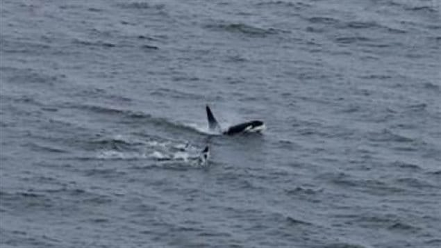 Killer whales used to be uncommon occurrence in western Hudson Bay A pod was seen moving through the Southern Hudson Bay in 2014.