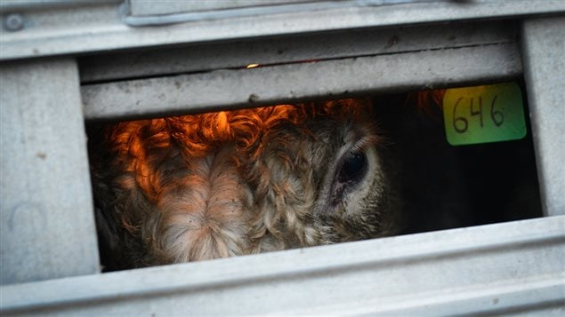 Cow inside a transport 2013. Rights groups are concerned that new proposals for more humane transport still lag for behind other developed countries