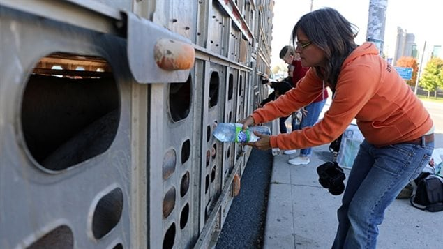 Anita Krajnc gives pigs water near a slaughterhouse in Burlington, Ont. in June. In November, she pleaded guilty to mischeif.