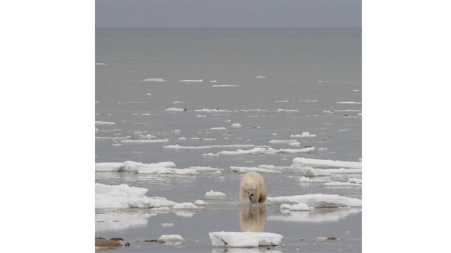 Autumn 2012, a bear walks along the shore of Hudson Bay waiting for ice to form. Longer periods on land means longer periods of fasting, and of negative interactions with human populations.