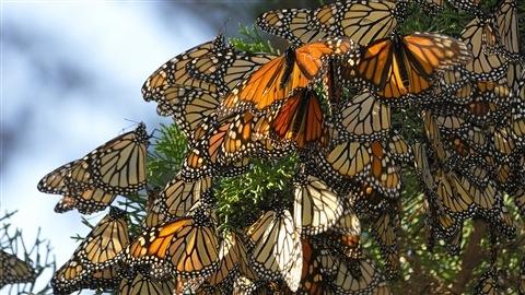 Une grappe de Monarques suspendus sur un conifère. © iStockphoto/David Gomez