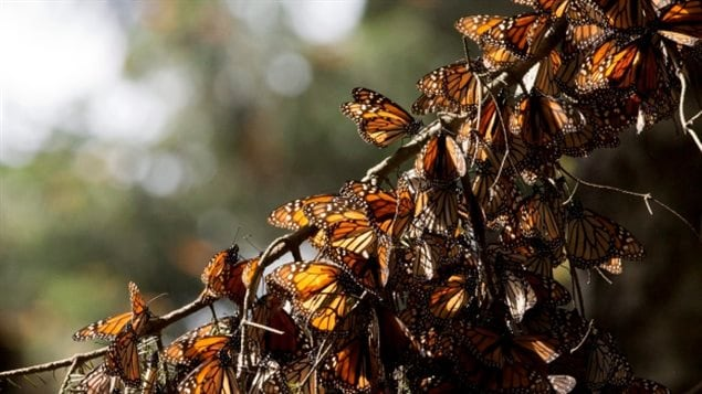 A kaleidoscope of Monarch butterflies hang from a tree branch, in the Piedra Herrada sanctuary, near Valle de Bravo, Mexico in January 2015.
