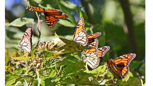 Monarch butterflies have now been listed as a *endangered* species by Canada's science committee on endangered wildlife