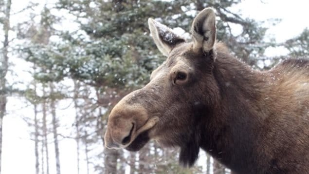loose moose problem arises in Alberta.