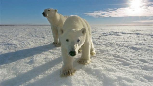 La reducción de los hielos marinos en el Polo Norte tendrá efectos nefastos para los osos polares.