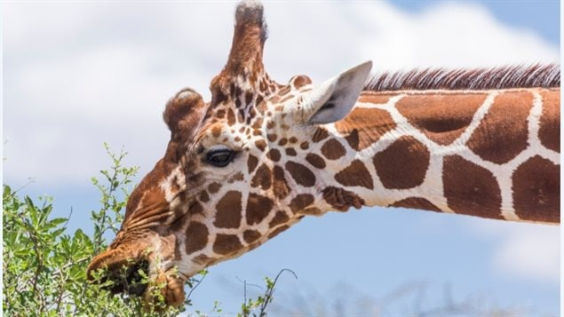 Anne Innis Daag's love for giraffes began when she was three and visited a zoo with her mother.