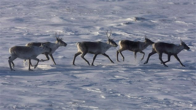 Wild caribou roam the tundra in Nunavut on March 25, 2009.