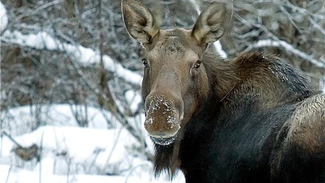 Endangered moose gives her best 'come hither' look.
