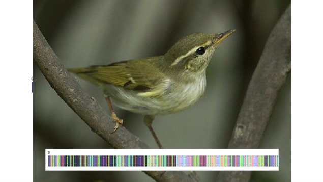 Arctic Warbler and its actual *barcode* of DNA. If it was written down it would look like this, CCTATACCTAATCTTCGGAGCATGAGCGGGCATGGTAGGC