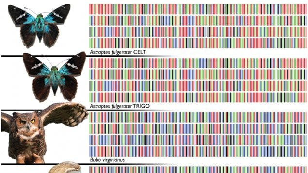 Examples for other species barcodes, note how two very seimilar looking insects have different DNA
