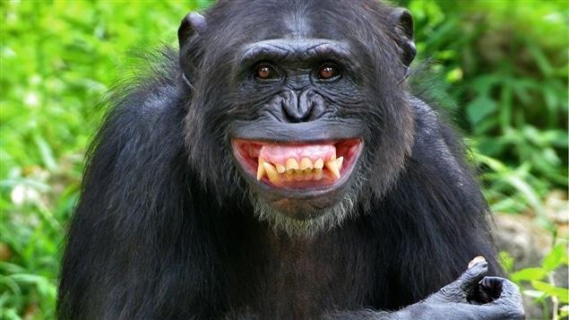 Possibles cas de maltraitance sur différents groupes d,animaux dont des singes dans un laboratoire de recherche au Québec