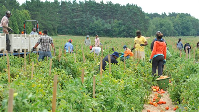 The workers FARMS helps to bring in can work on fruit, vegetable or horticultural operations. The workers come from Mexico and several Caribbean countries.