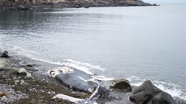 The decaying 9-metre humpback whale carcass was discovered Tuesday. Scientists say it's too early to say whether the whale's death is related to a mysterious fish kill that appears to have spread to new species, including starfish, clams, lobsters and mussels now washing ashore alongside thousands of herring in St. Mary's Bay.