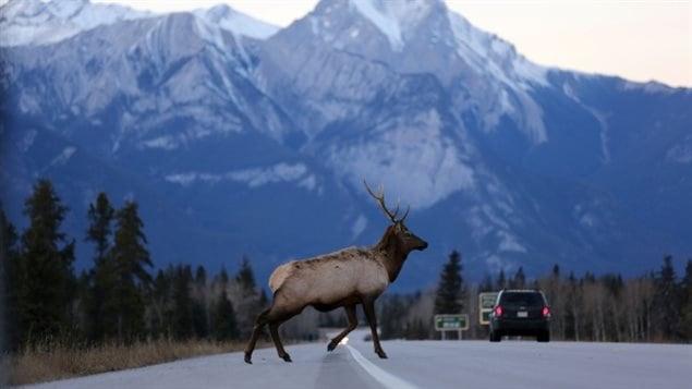 Un élan mâle traverse l'autoroute Yellowhead, qui traverse le parc national Jasper, en Alberta. (Chris Helgren / Reuters)