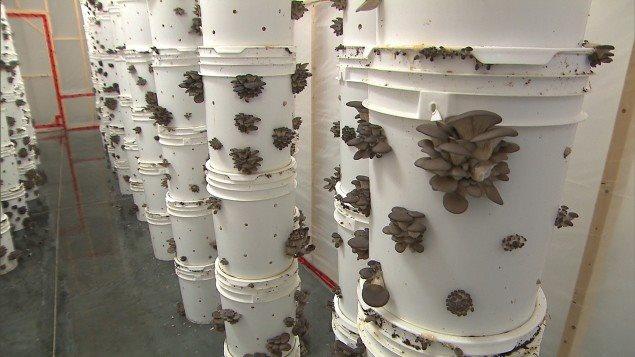 Setas cultivadas en baldes plásticos.