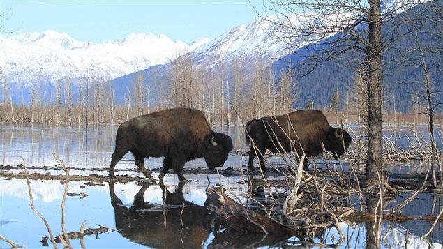 El bisonte, una de las especies presentes en parques canadienses y que se encuentra en riesgo.
