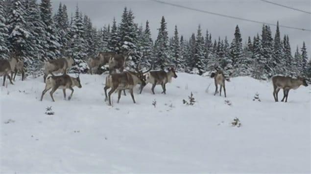 Une harde de caribous forestiers