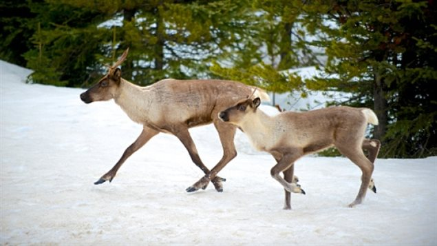Many of the caribou herds in Canada are listed as threatened.