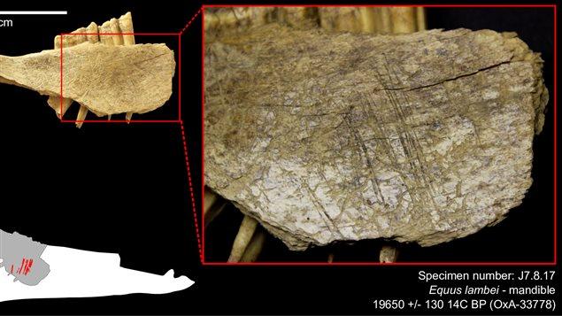 Ossements trouvés au Yukon