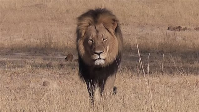 Cecil the lion was a top attraction at Hwange national park in Zimbabwe