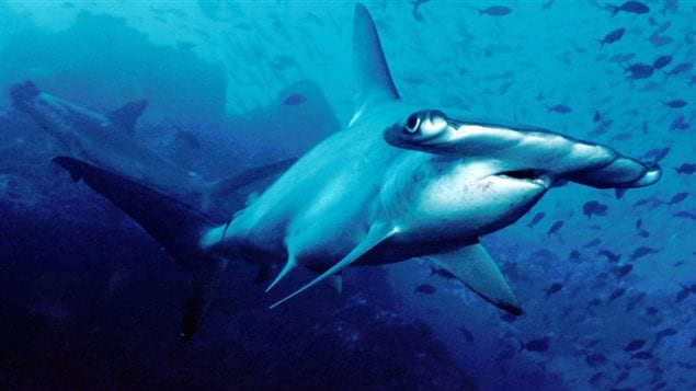 The hammerhead shark is listed as an endangered species. In 2013 CITES prohibited international trade in the fins of the scalloped hammerhead and four other species. Without strict monitoring, this protection may be of limited value