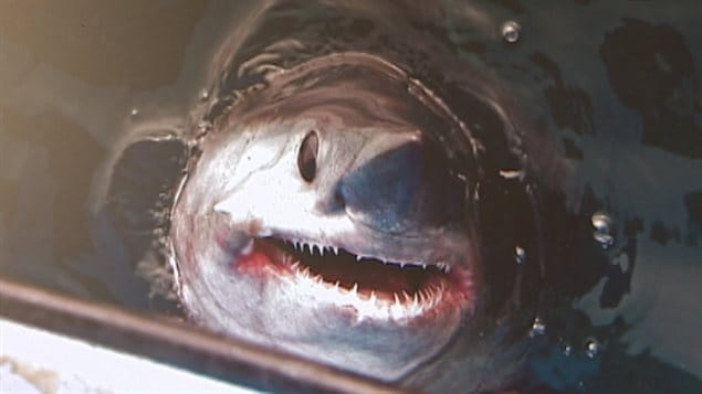 The fierce-looking shark is sometimes confused with its larger relative, the great white shark, due to its similar body profile. The probeagle which spends much of its time in Canadian waters in endangered. Fisheries Dept estimates numbers are about a quarter of what they were in the 1960's