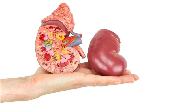 Les hybrides d'animaux et d'humains pourraient permettre de produire des organes pour la transplantation.