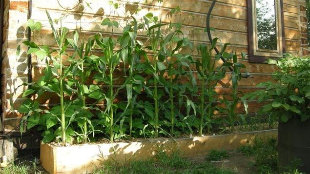 Les résidents de Dawson City peuvent maintenant faire pousser des légumes, comme du maïs.