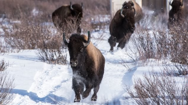 Bison thundered out of their containers when finally released into an enclosure in Banff National Park.