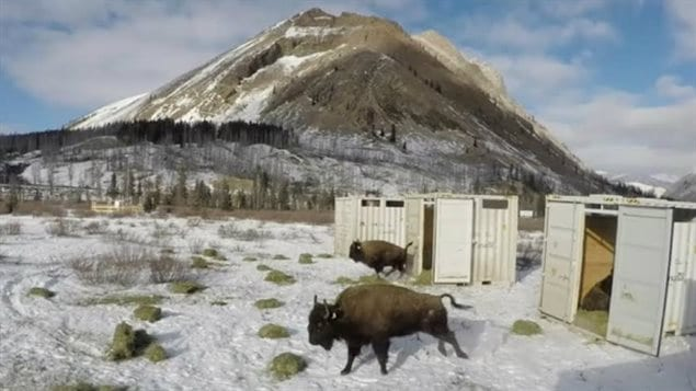And finally, the bison were released from their containers.